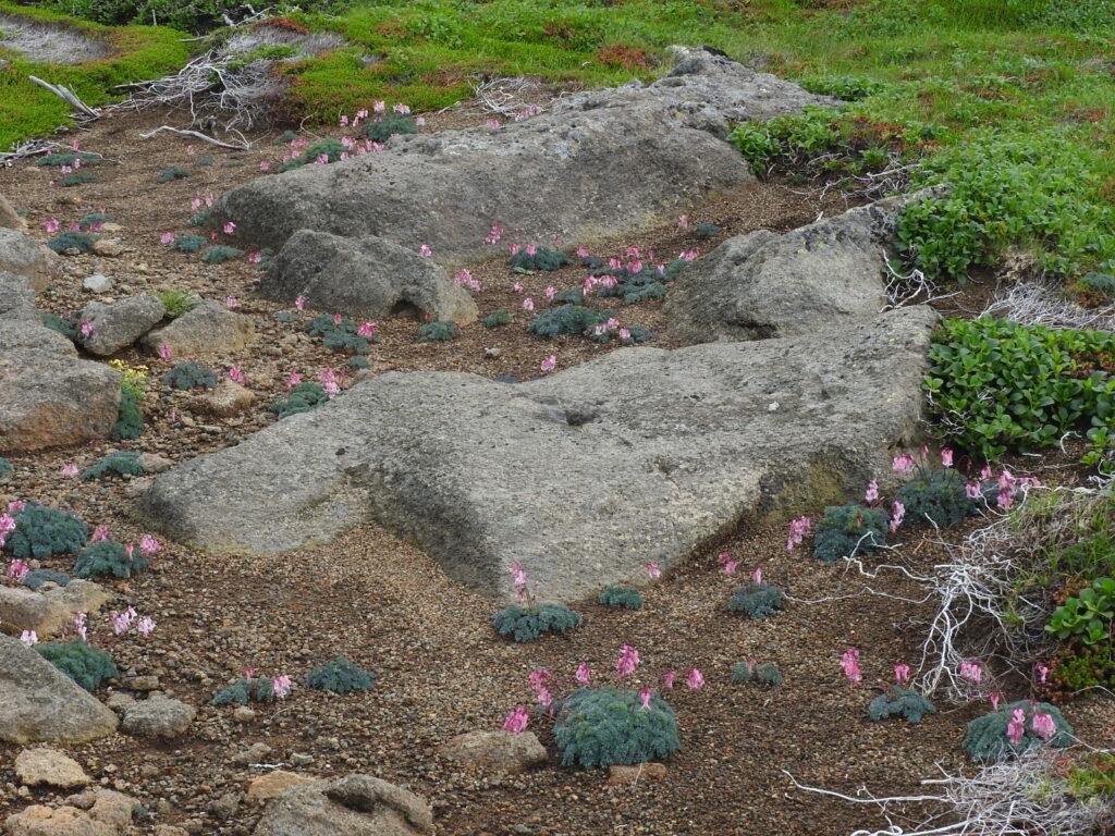 駒草平、地名のとおりでこれはほんの一部、他の高山植物もたくさん