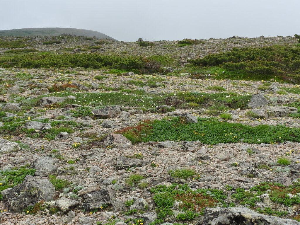 稜線上の風衝地お花畑