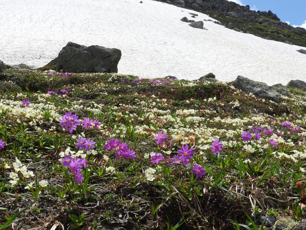 白雲岳分岐~北海岳の湿性お花畑